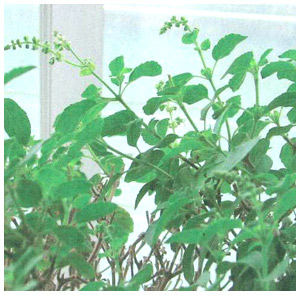 Few Things To Know About Tulsi By Sri Narendra Babu Sharma