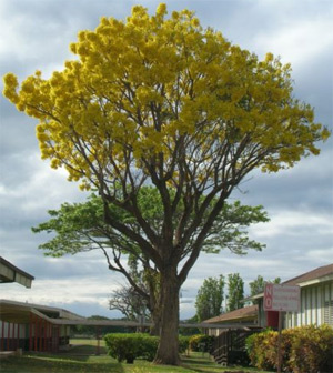 tabebuia-tree.jpg