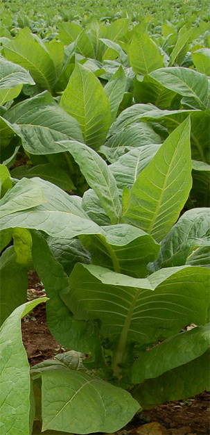 tobacco plant and cancer vaccine