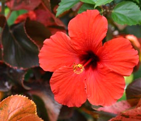 hibiscus flower to lower blood pressure