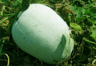 ash-gourd