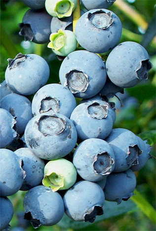 blueberry-benefits