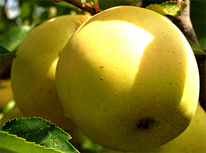 Ayurveda emphasizes apples for healthy heart and longevity