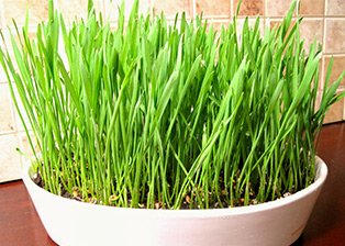 Wheatgrass – a potential life saviour for Thalassemia patients