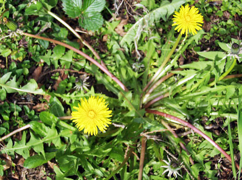 Multiple health values of the great green Dandelion