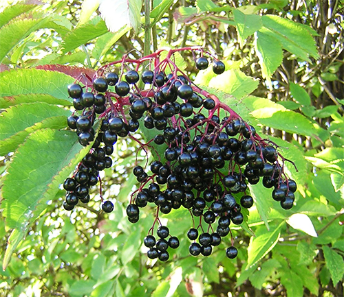 Elderberry grabs attention as flu-fighter