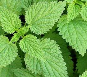 benefits of nettle herb